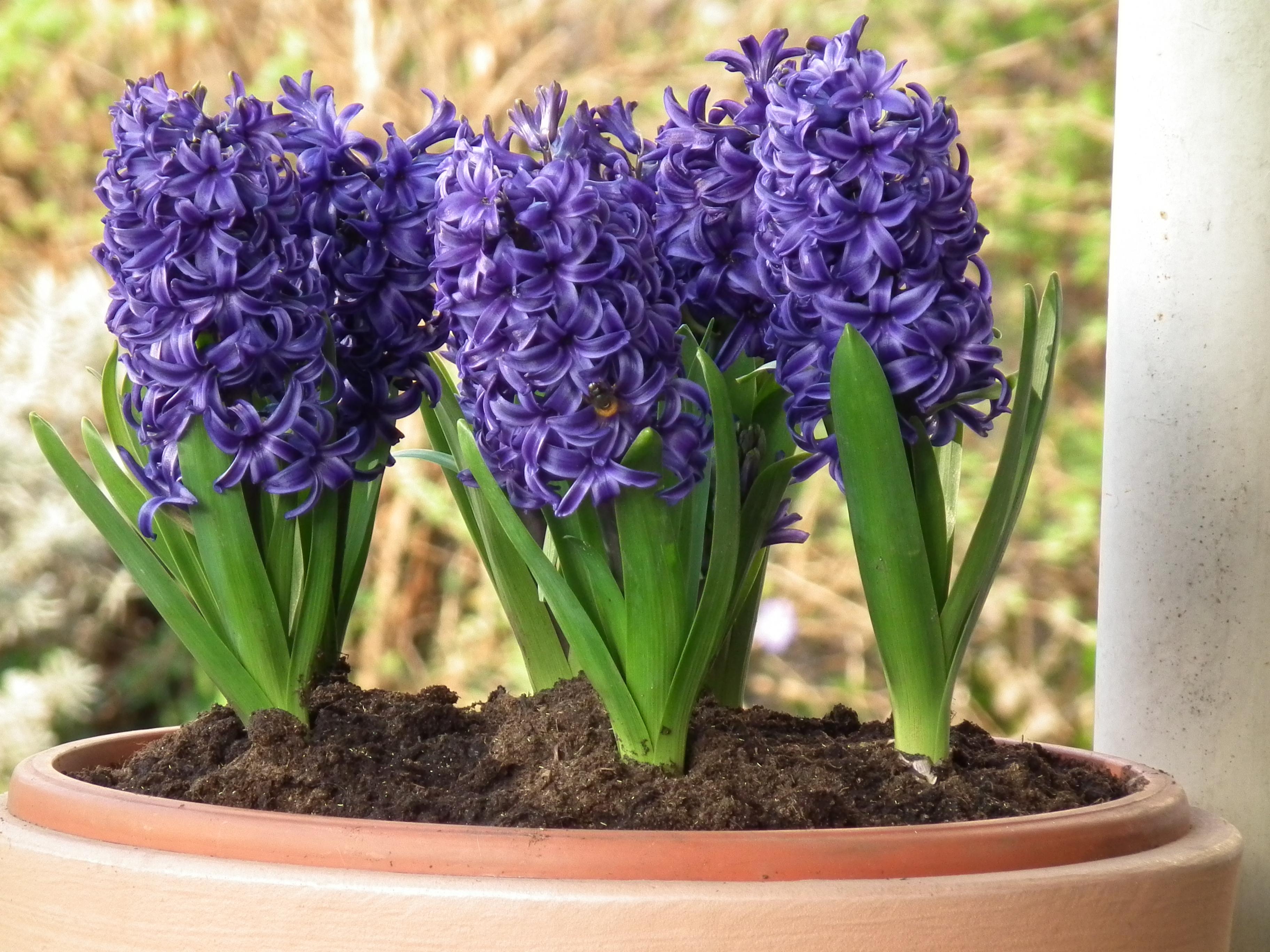 File prachtvolle gartenhyazinthen blau jpg wikimedia commons - Planting hyacinths indoors ...
