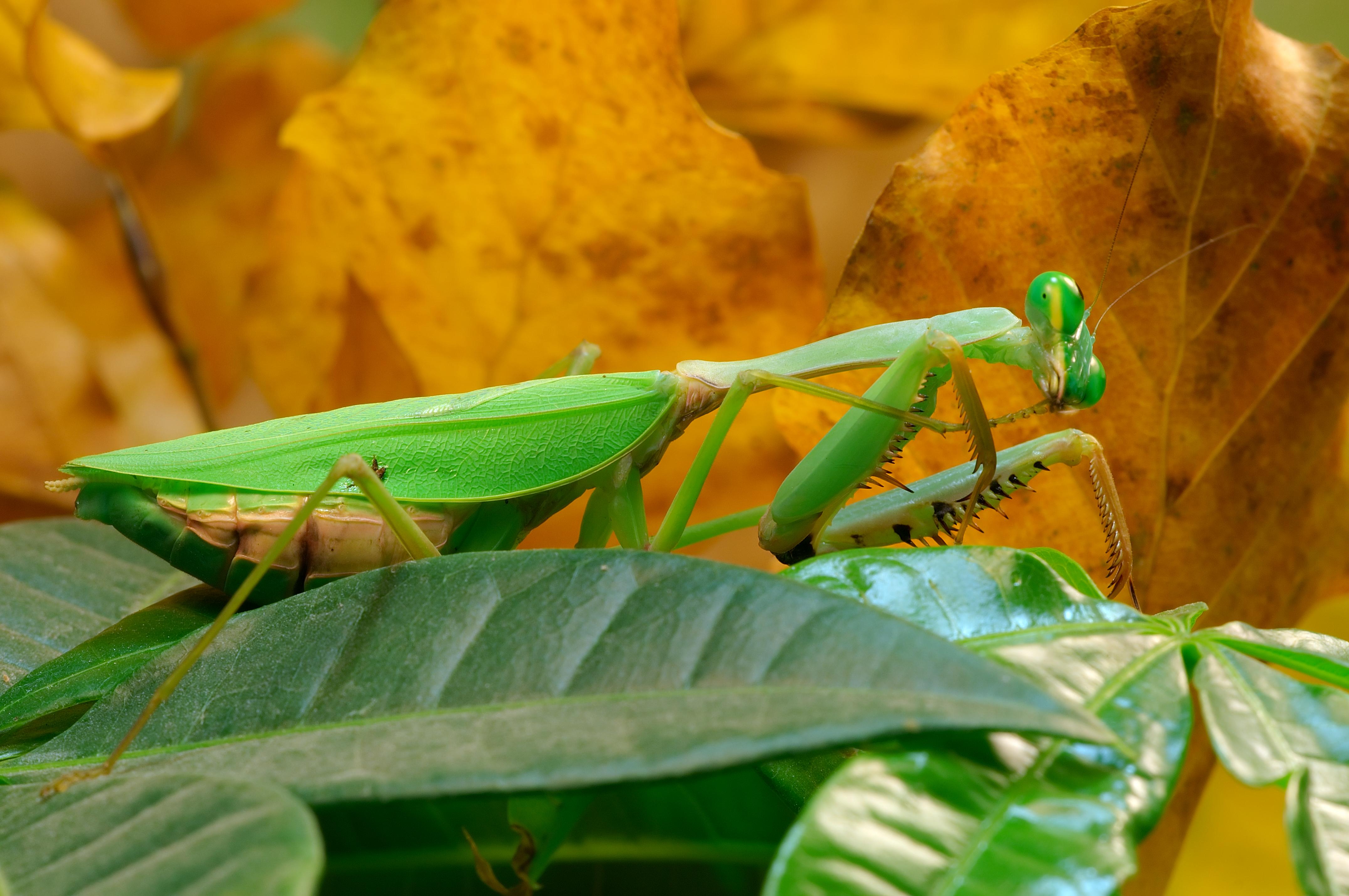 カマキリ 交尾 食べる なぜ