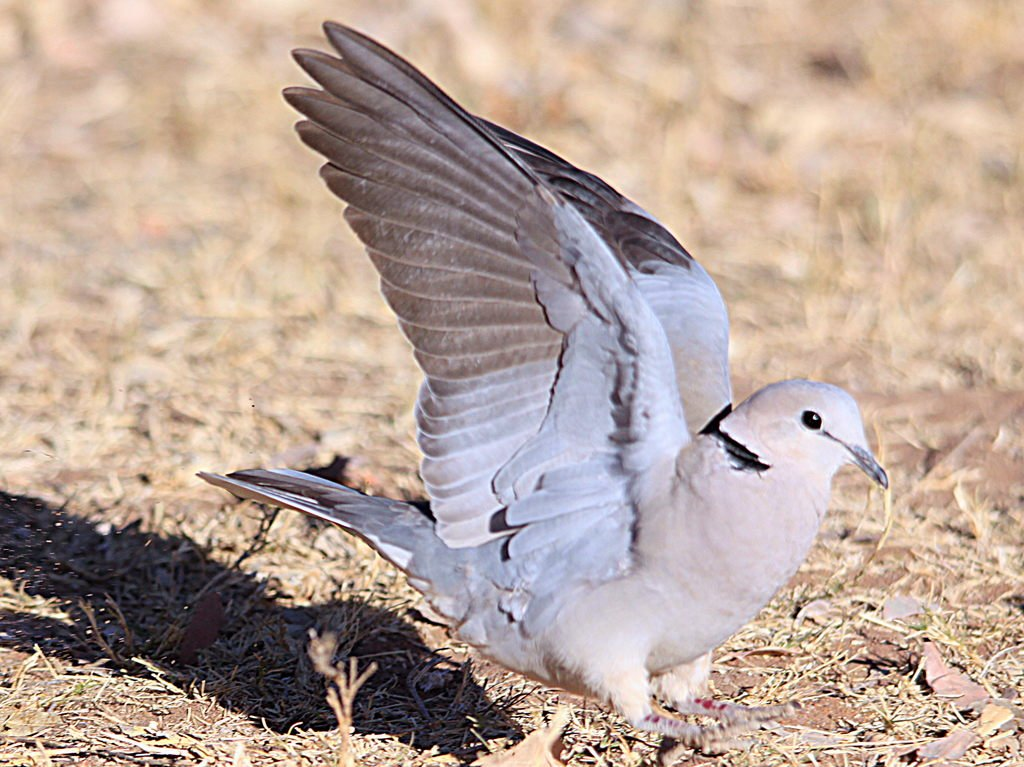 Ring Necked Doves In Mississippi