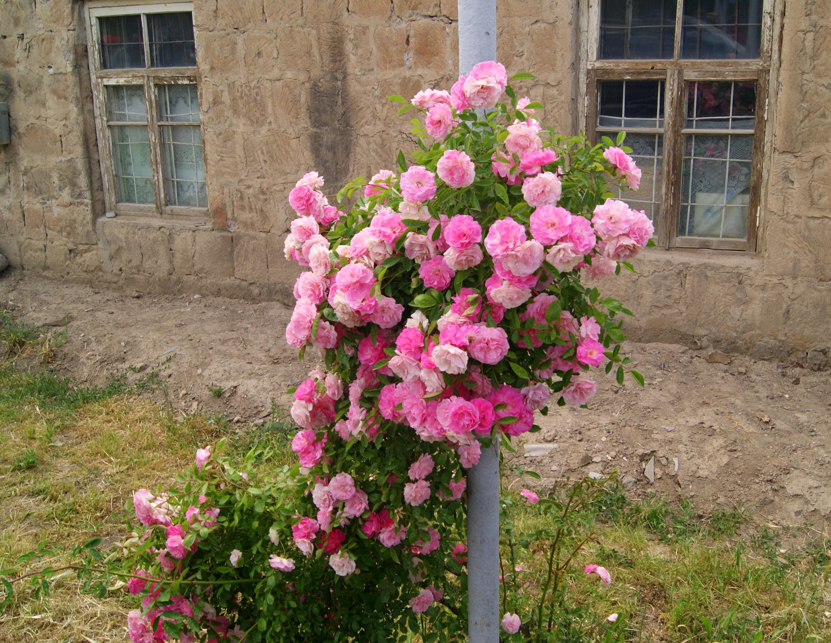 Rose_bush_at_Hnaberd%2C_Ararat.jpg