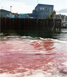 Seafood processing waste discharged to the town harbor in Sitka, Alaska