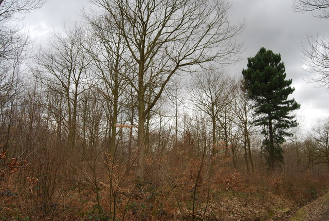 Spot the odd one out, North Bishopden Wood - geograph.org.uk - 1209764