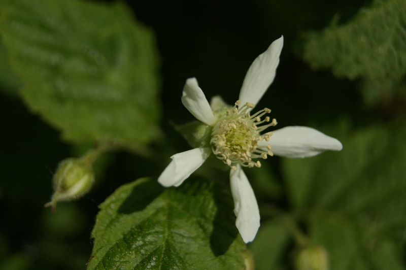 Tayberry flower