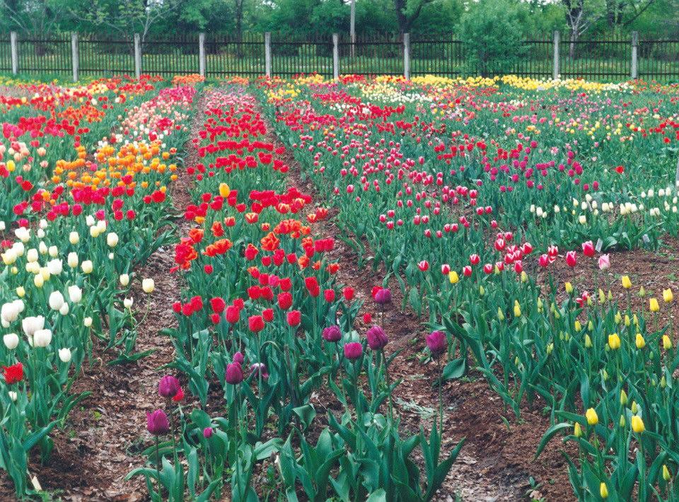 Tulpe vikipedija