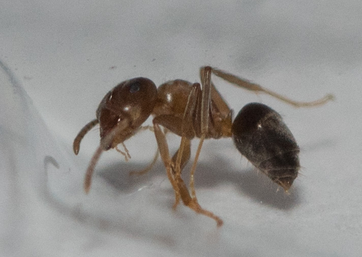 unbekannte ameisen in wohnung bestimmung von ameisen. Black Bedroom Furniture Sets. Home Design Ideas
