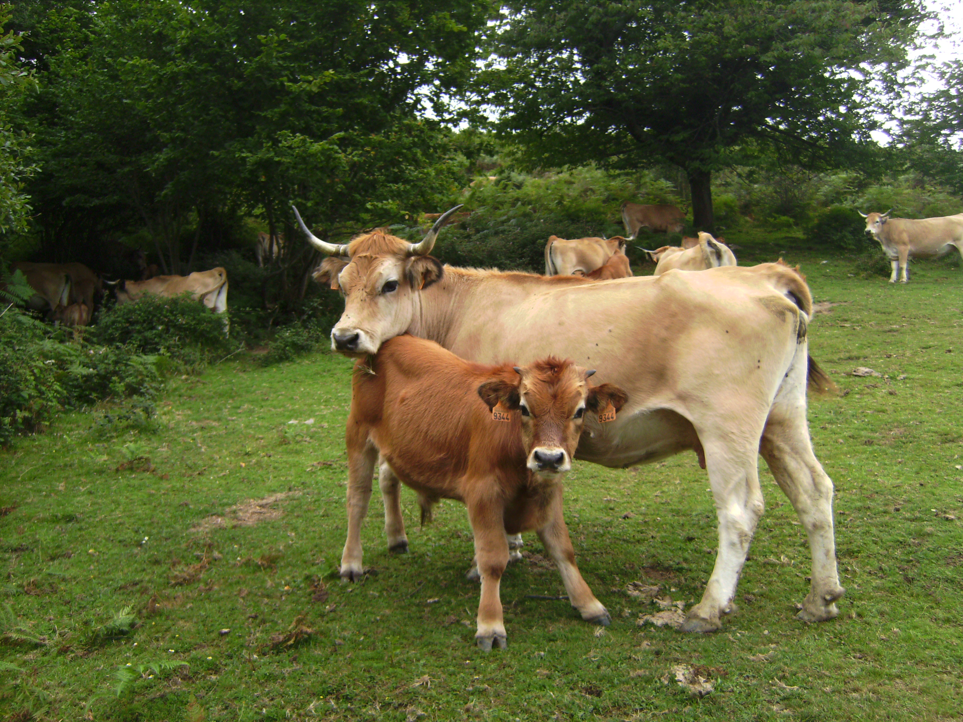 Vacas casinas.3