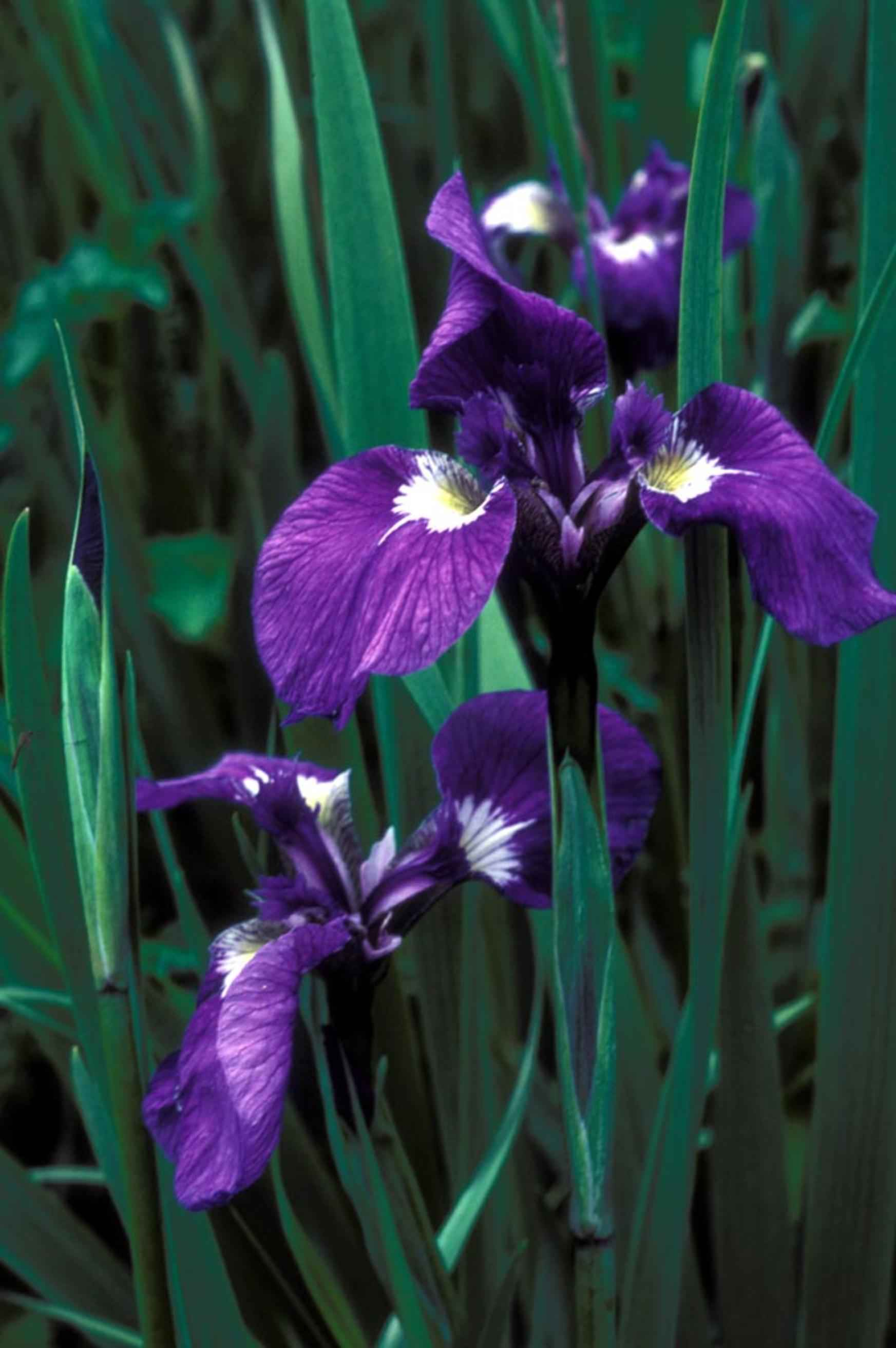 Filewild Iris Flower Iris Setosag Wikimedia Commons
