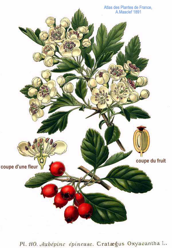 http://upload.wikimedia.org/wikipedia/commons/d/da/110_Crataegus_oxyacantha_L.jpg