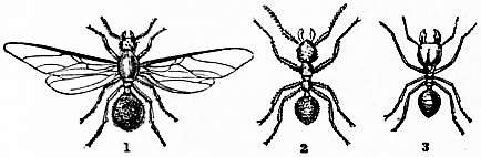 1911 Britannica-Ant-Foraging Ants.png