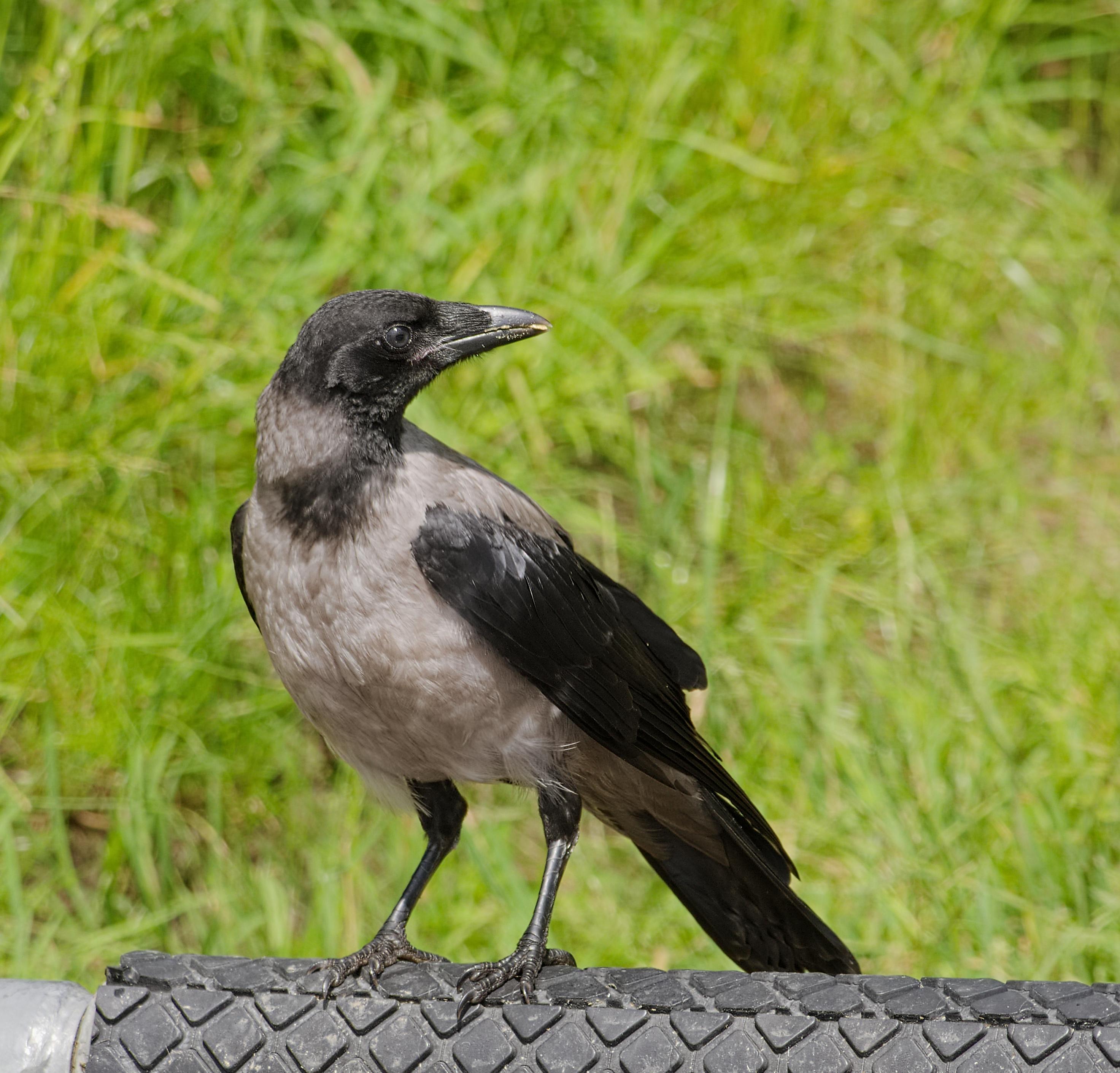 Galéria veľkých čiernych vtáky
