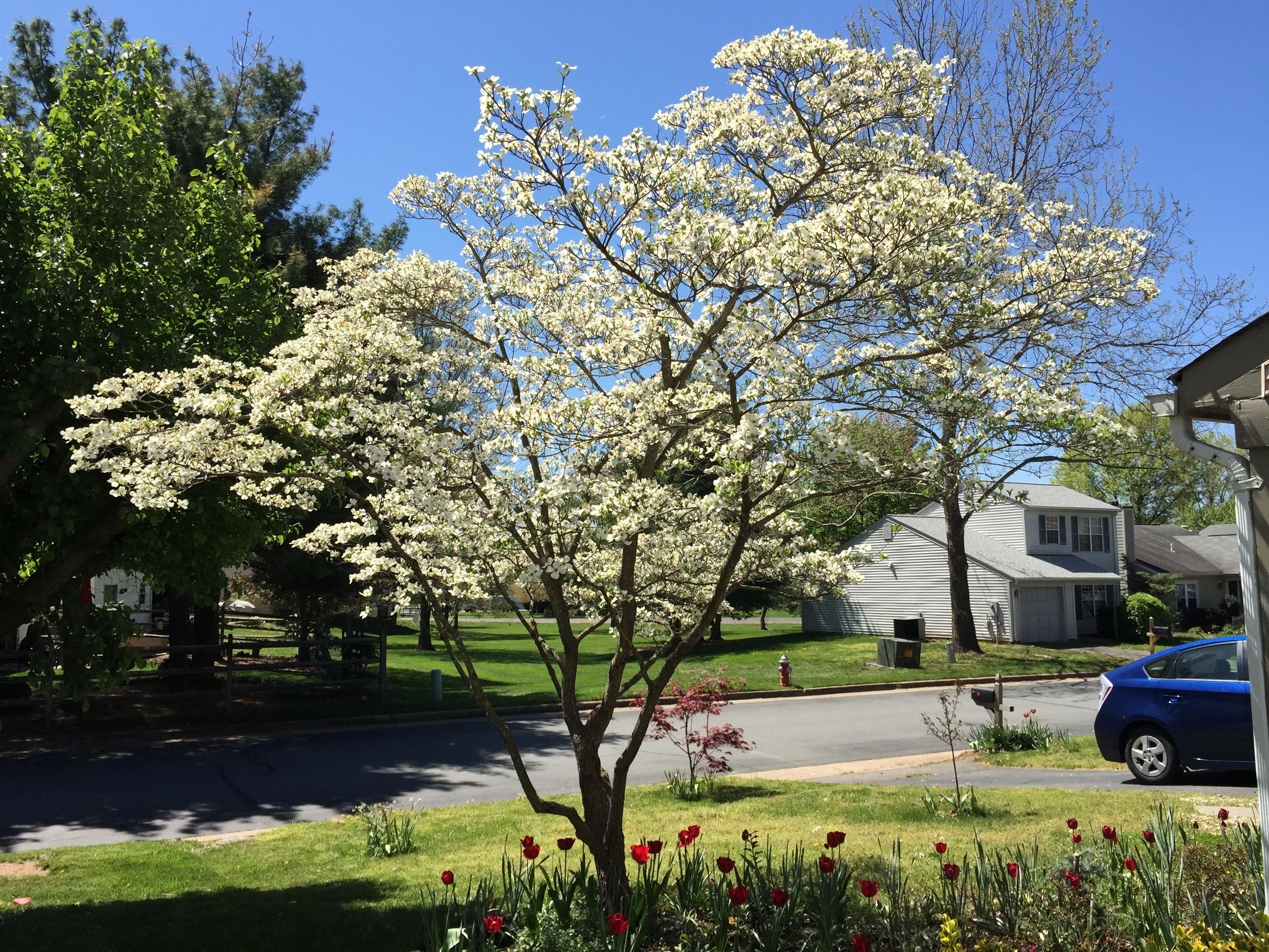 File2016 04 20 12 10 40 White Flowering Dogwood Blooming Along
