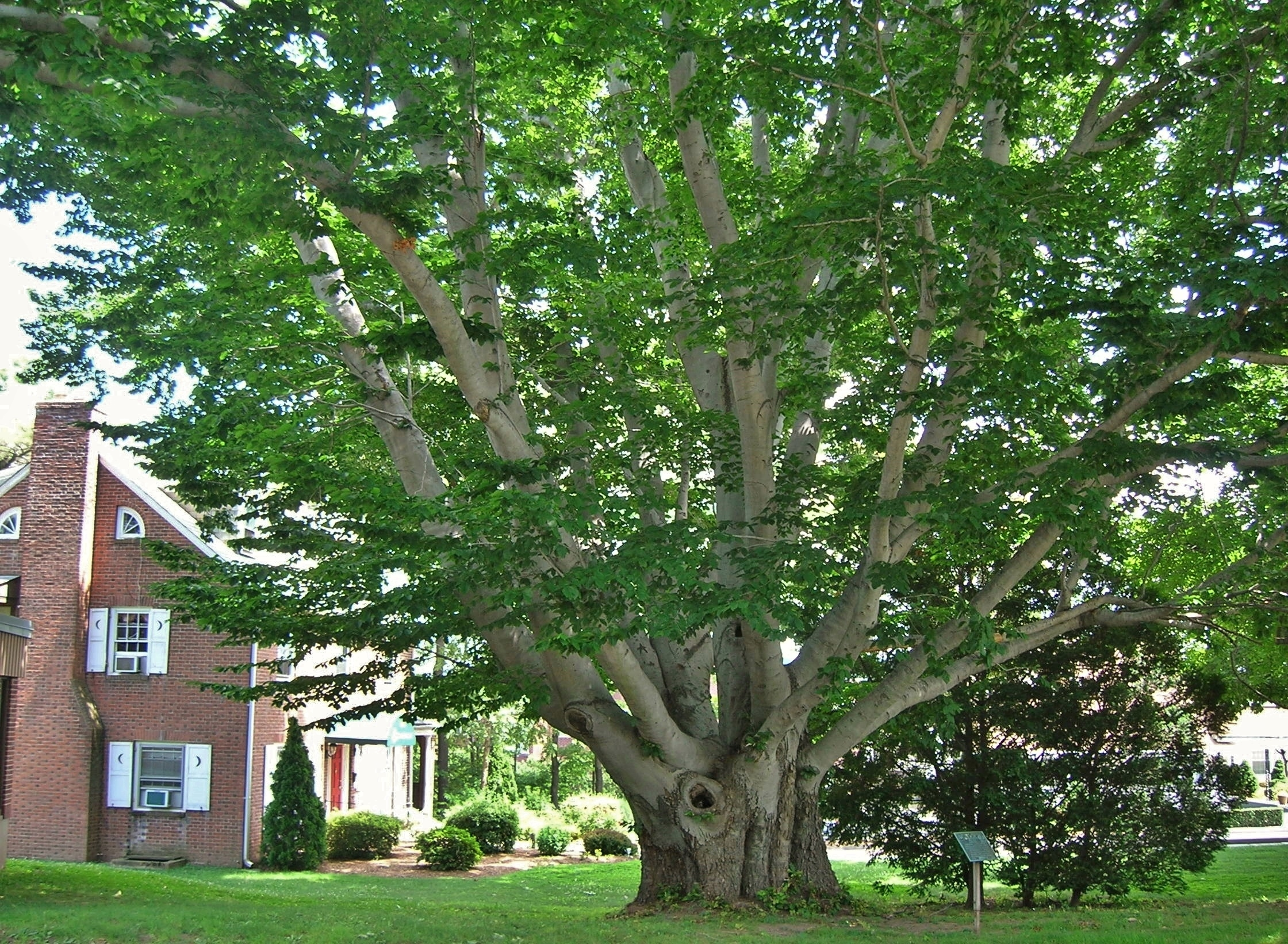 Beech Tree: Pictures, Photos, Images, Facts on Beech Trees American beech tree pictures