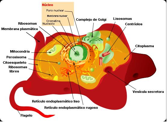 Archivo:Animal cell structure es.JPG