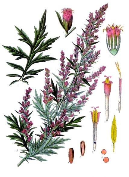 Artemisia vulgaris - Köhler–s Medizinal-Pflanzen-016.jpg