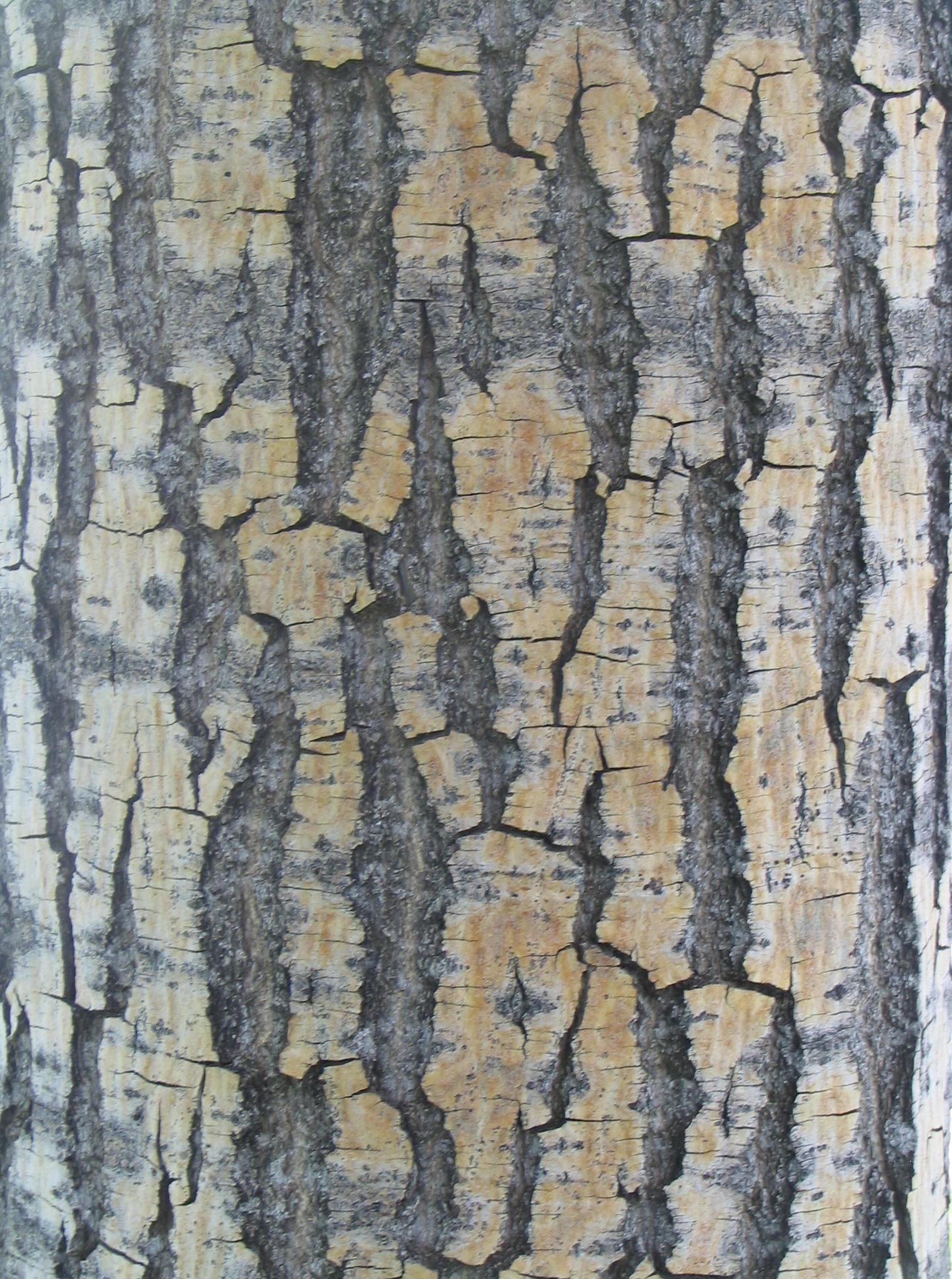 File:Bark texture wood.jpg - Wikimedia Commons: commons.wikimedia.org/wiki/File:Bark_texture_wood.jpg
