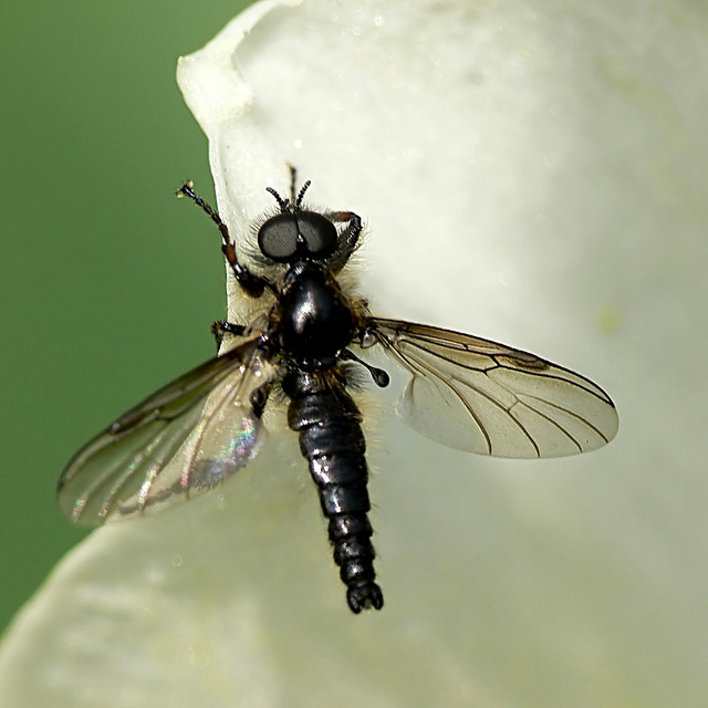 Kleine rouwvlieg wikipedia for Schwarze kleine fliegen