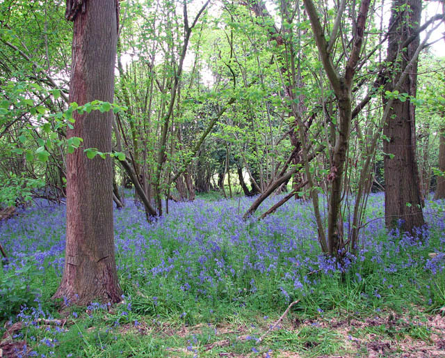 Bluebells in King's Covert - geograph.org.uk - 1282545