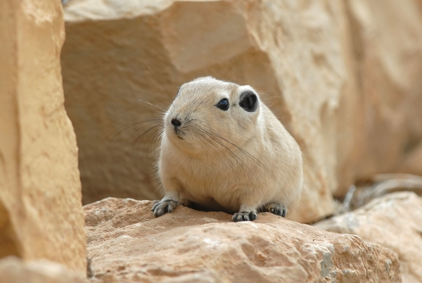 The average adult weight of a Val's gundi is 174 grams (0.38 lbs)