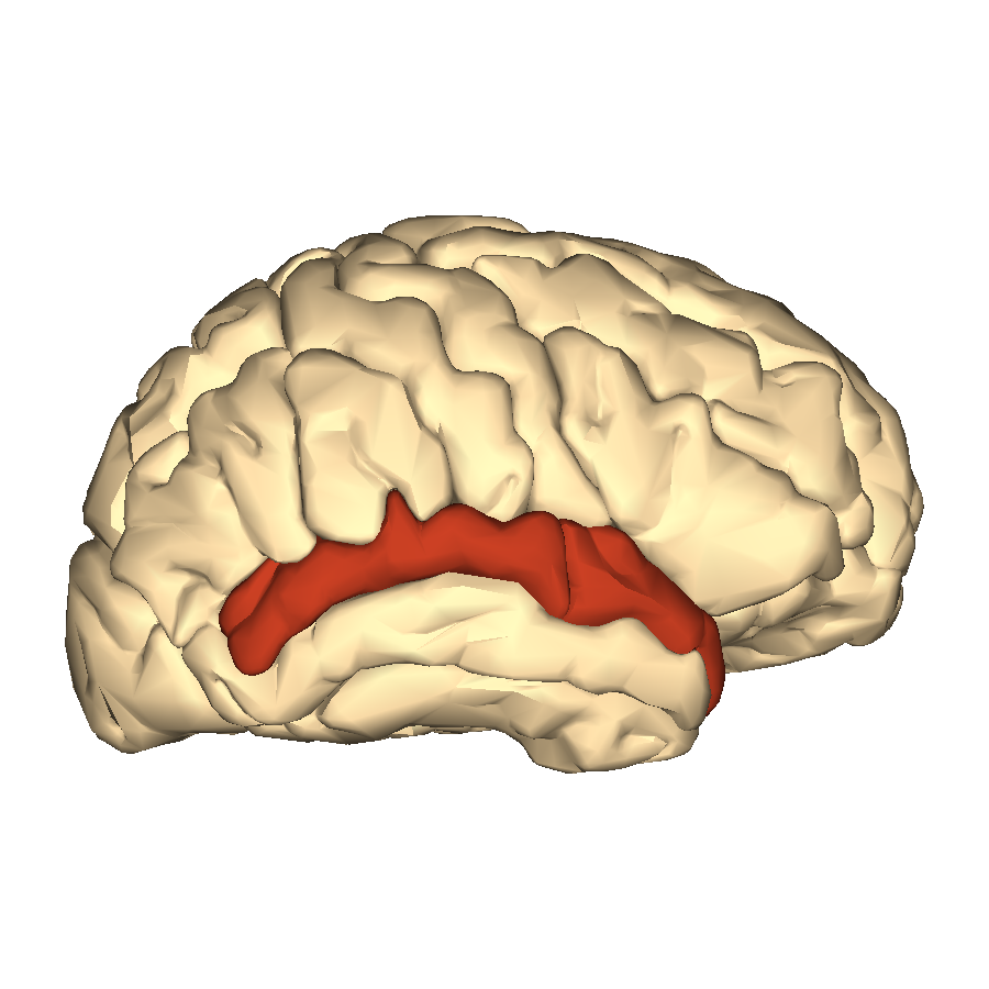 Superior Temporal Gyrus | tenderness.co