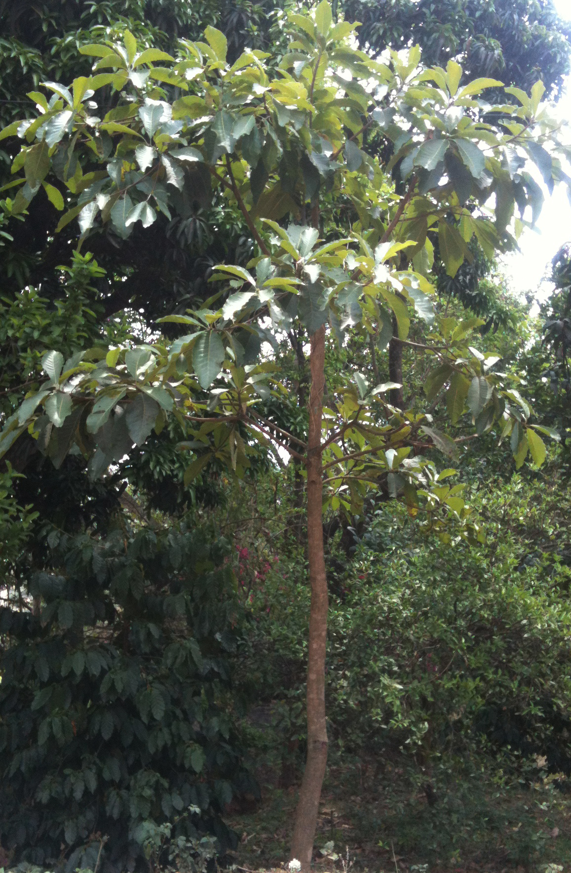 Garden Bush: Phulwara Oil