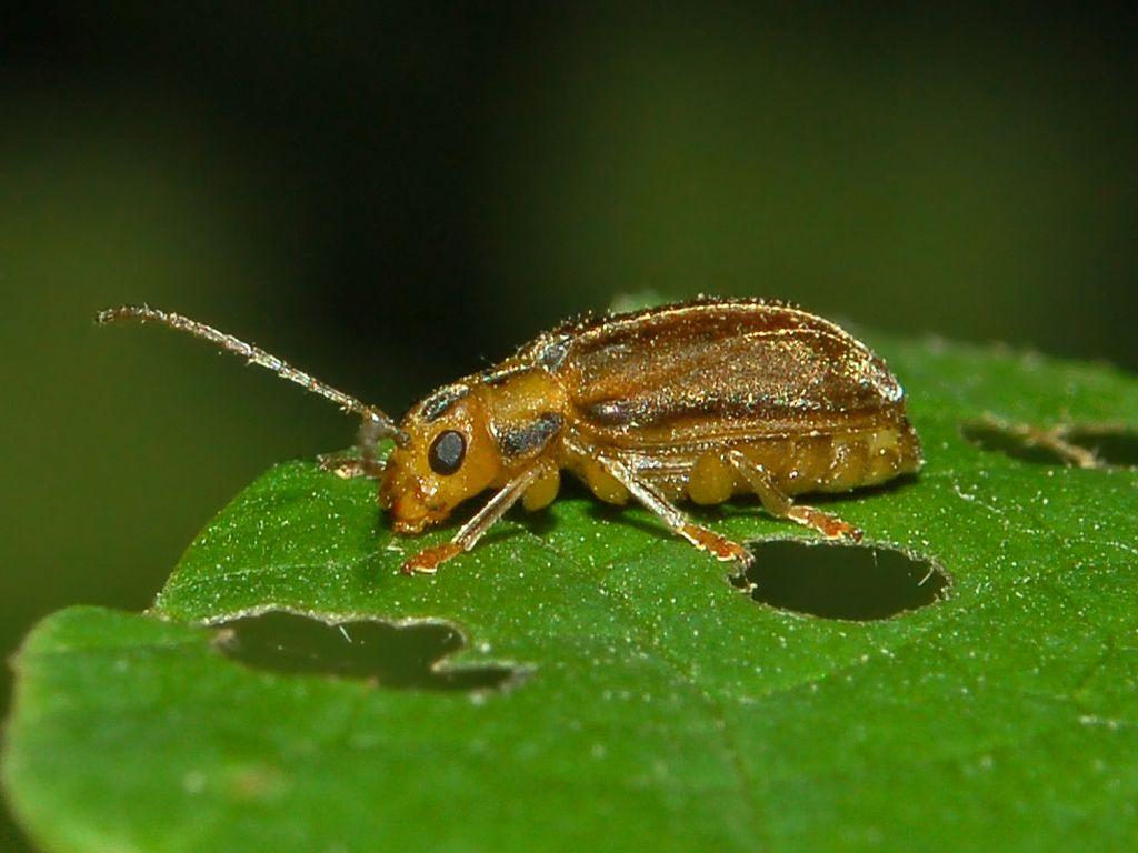 Image result for viburnum leaf beetles