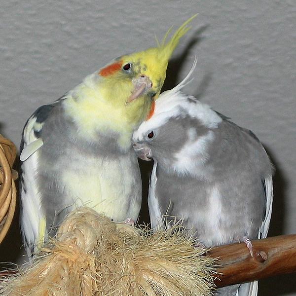 Ficheiro:Cockatiels.jpg