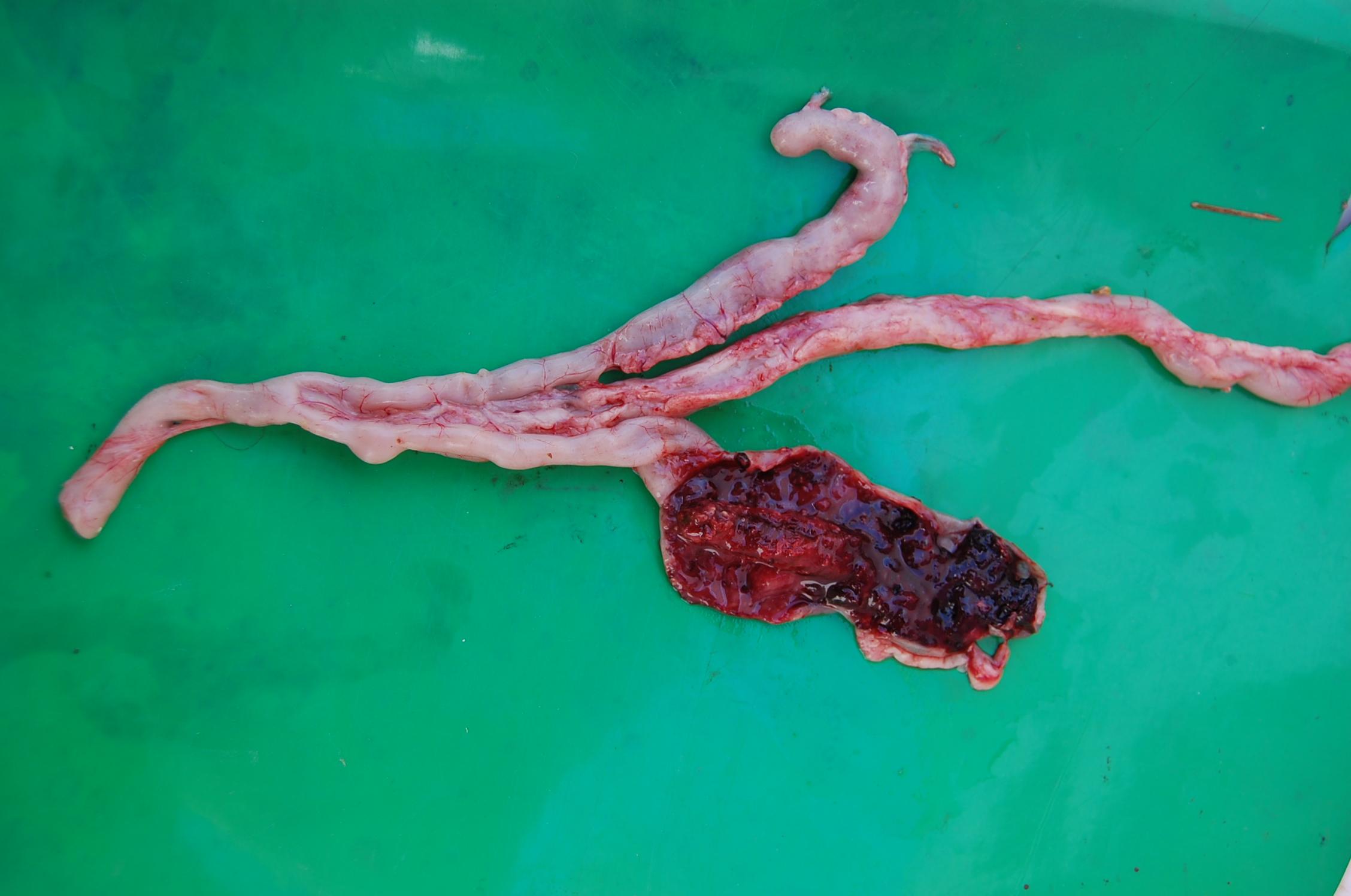 Infekce střeva kokcidií E. tenella