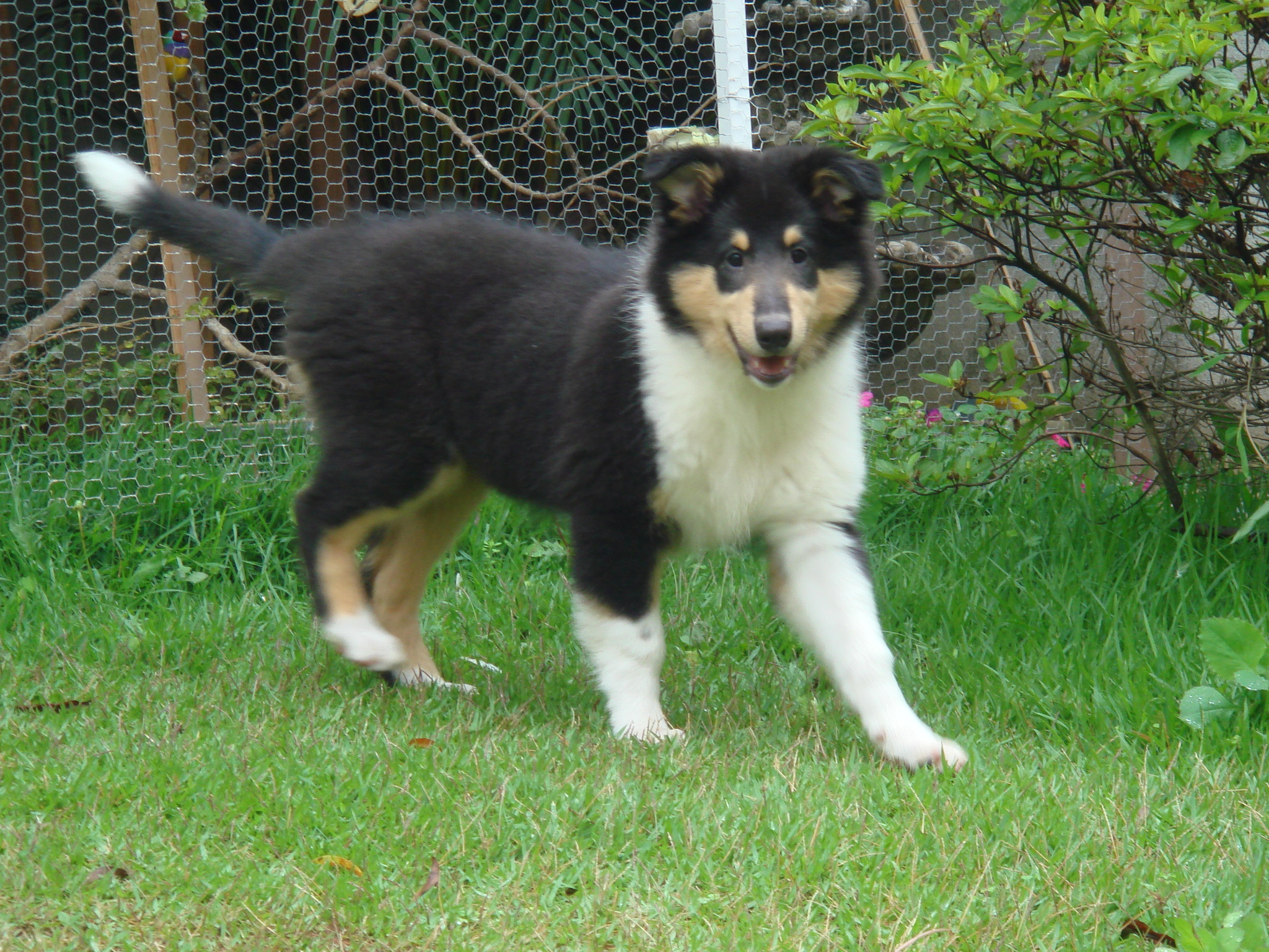 File Collie Filhote Tricolor2 Jpg