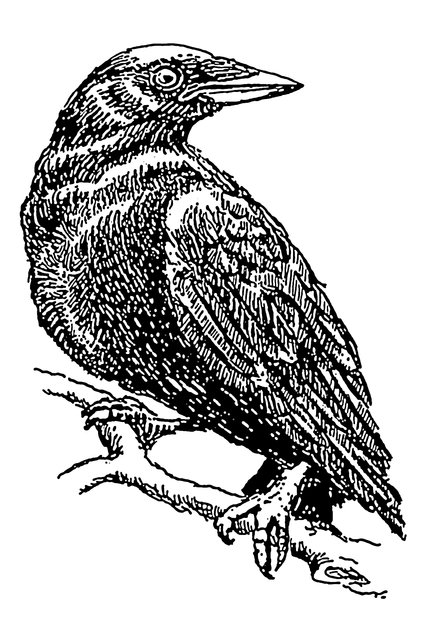 Line Drawing Raven : File crow psf wikimedia commons