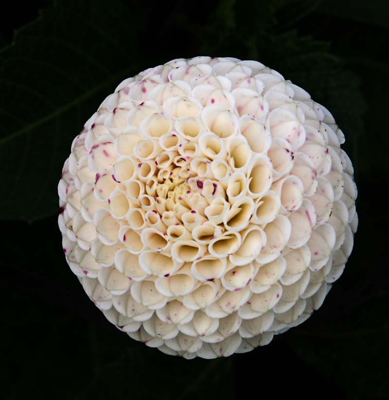"Dahlia - ""Small World"" cultivar.jpg"