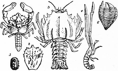 EB1911 Crustacea Fig. 16.jpg