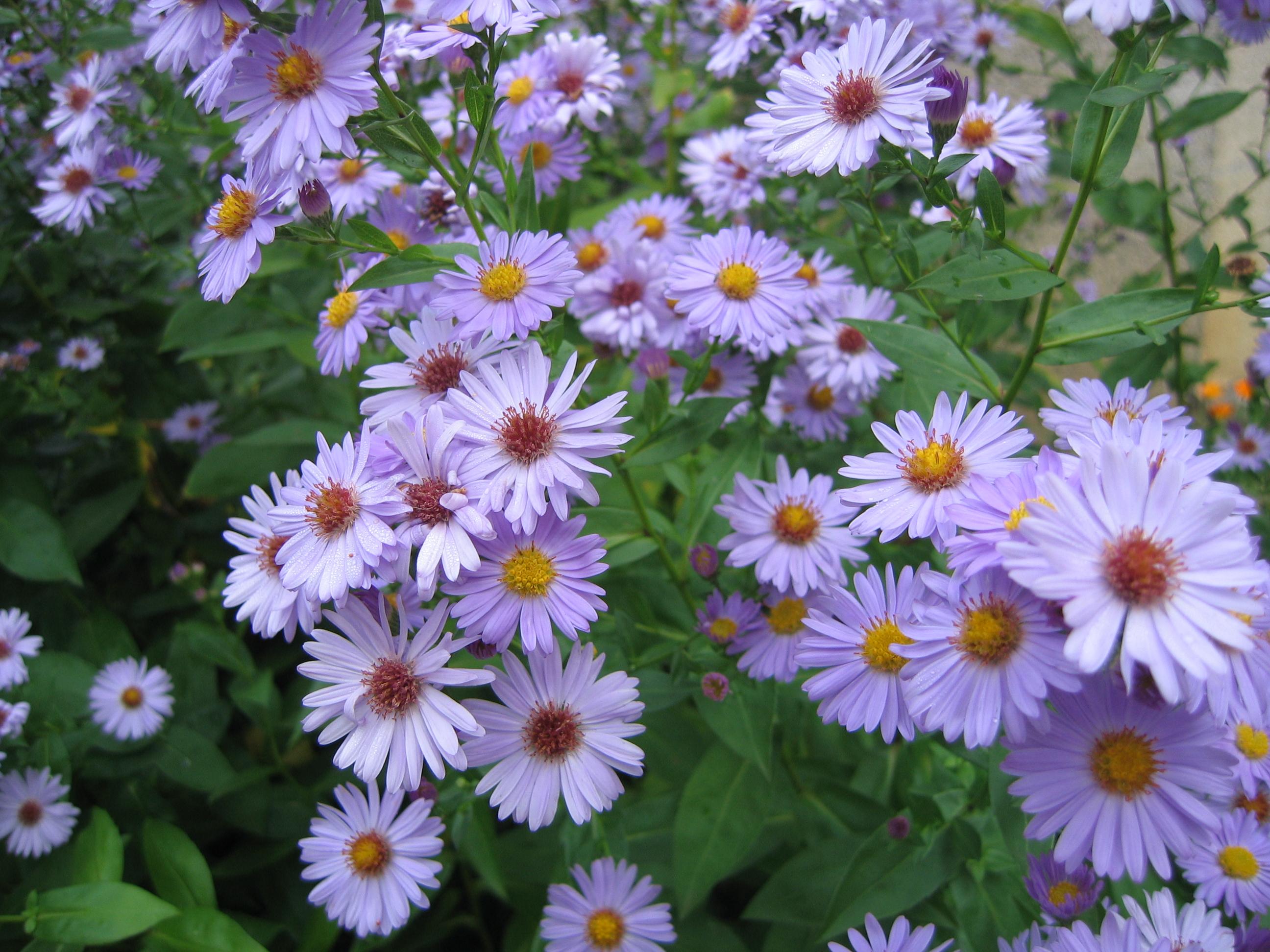 Description fleurs de jardin nièvre