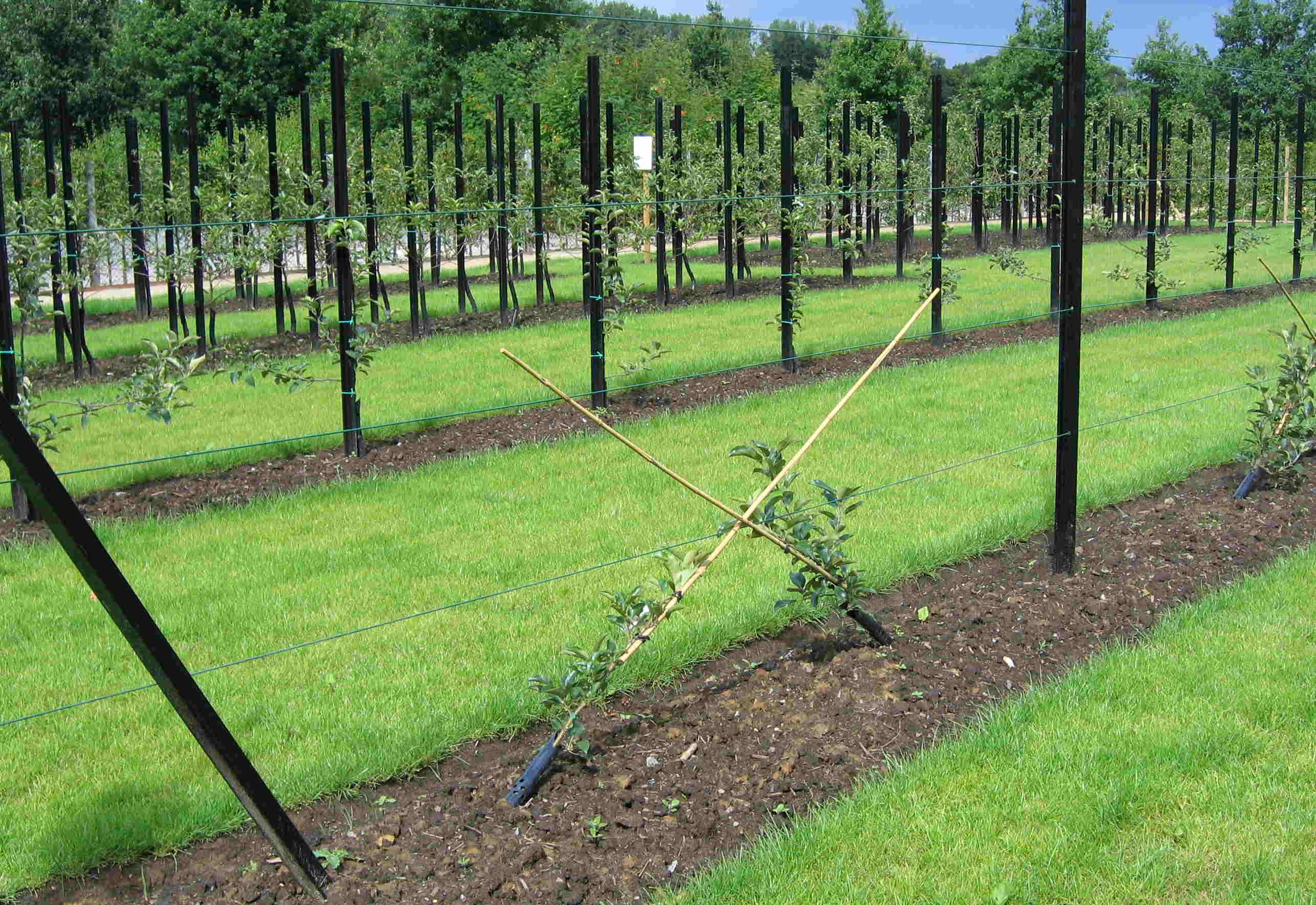 Fruit tree forms - Wikipedia