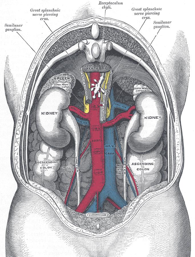 80+ Gambar Anatomi Ginjal Manusia Paling Keren