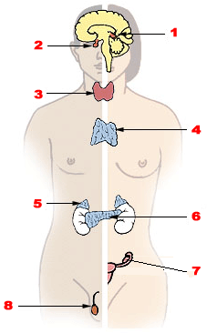 Major endocrine glands. (Male left, female on the right.) 1. Pineal gland 2. Pituitary gland 3. Thyroid gland 4. Thymus 5. Adrenal gland 6. Pancreas 7. Ovary 8. Testes