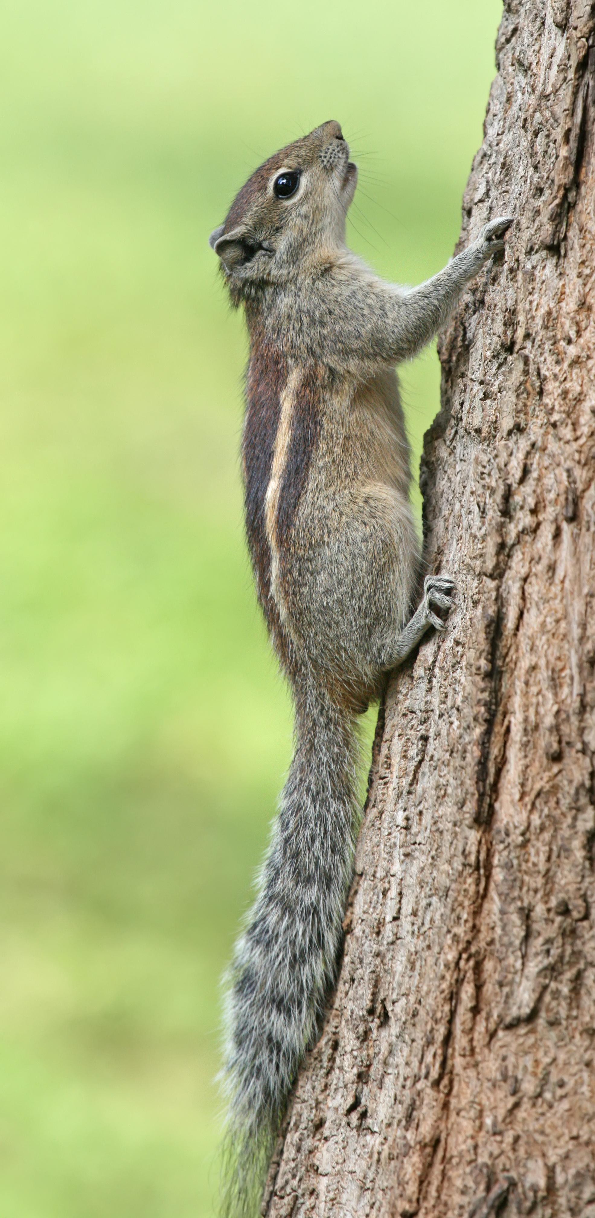Indian palm squirrel - Wikipedia