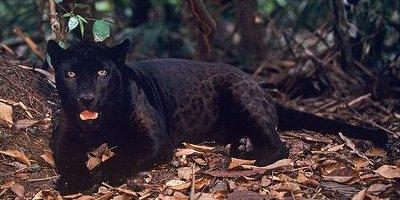 Jaguar negro acostado