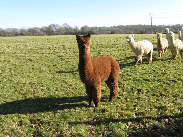 Leader of the pac (Alpacas that is) - geograph.org.uk - 1162241