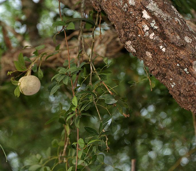 പ്രമാണം:Limonia acidissima syn Limonia elephantum or Fernonia limonia (wood-apple) in Talakona forest, AP W IMG 8334.jpg