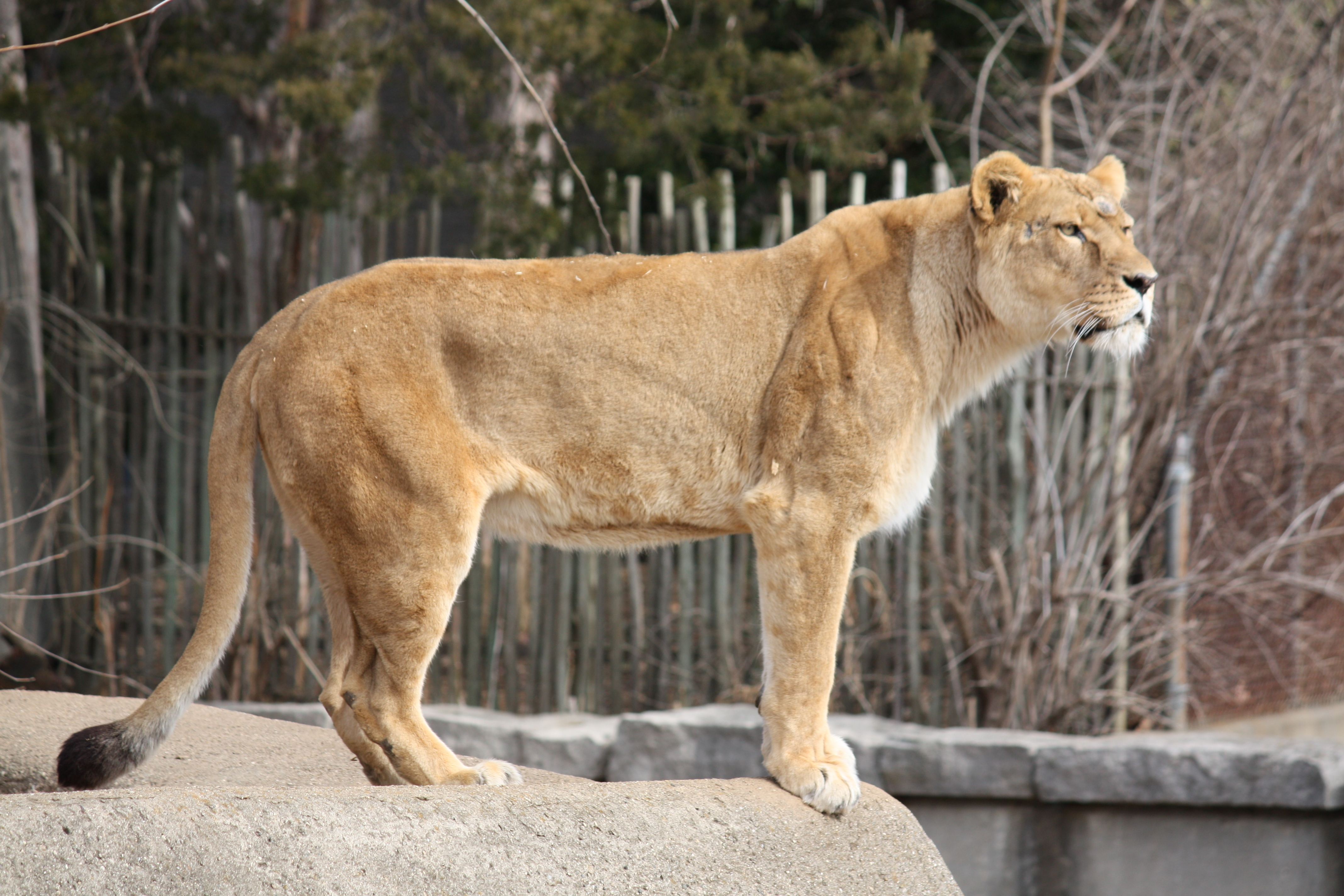 Ruokolahden Leijona