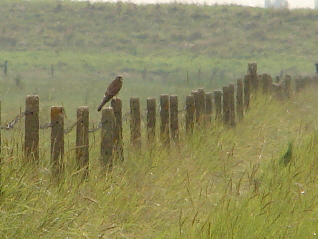 Marsh Harrier at Frampton Marsh - geograph.org.uk - 1432409