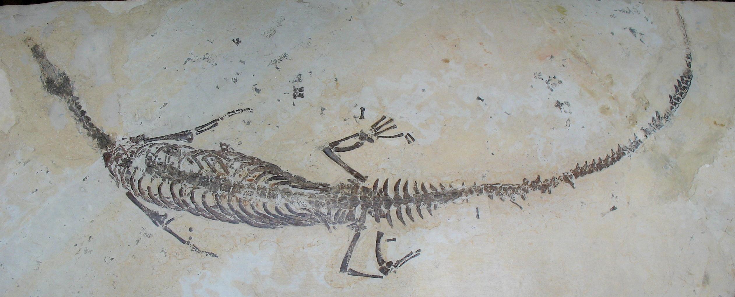 File:Mesosaurus brasiliensis - Permian - Sao Paulo, Brasil ...