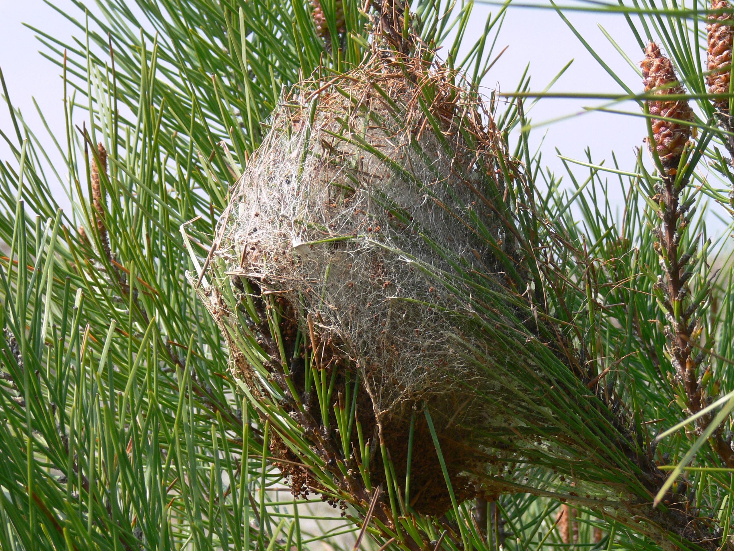 File nid de chenilles processionnaires du wikimedia commons - Papillon de la chenille processionnaire ...