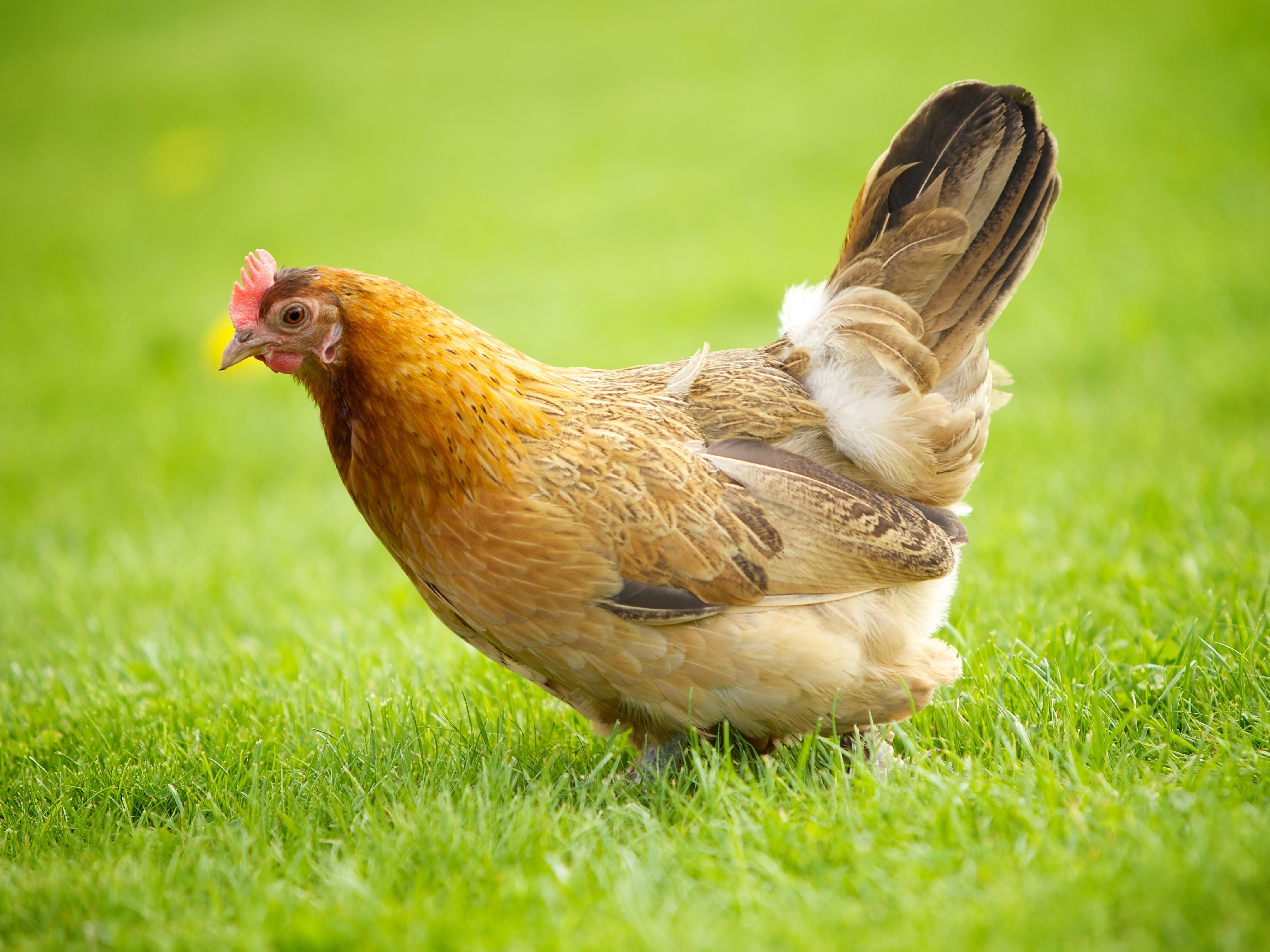 File norwegian wikipedia - Image d une poule ...