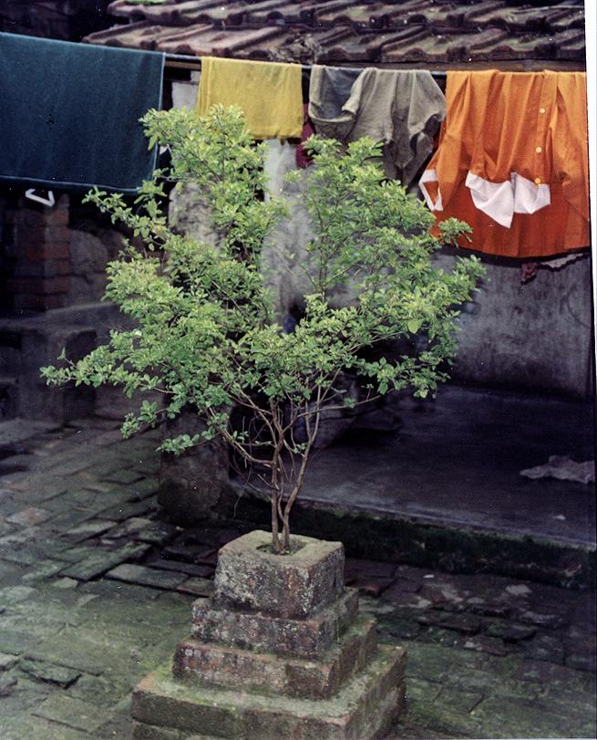 Bazylia azjatycka, czyli Tulsi rośnie przy wielu domach w Indiach
