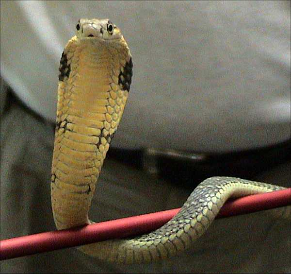Something king cobra can store sperm for several years would