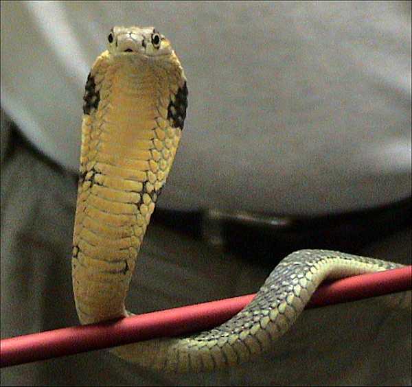 World's Most Deadly Venomous Snakes