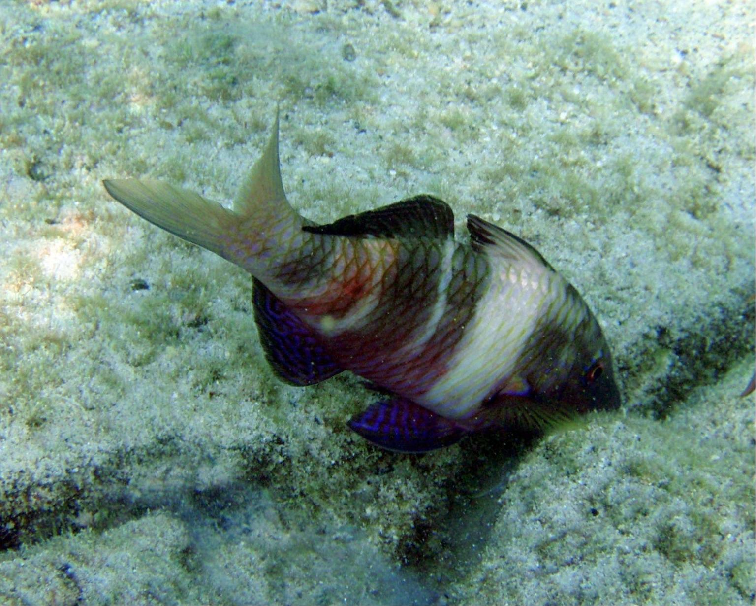 A goatfish