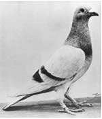 Pigeon William of Orange.JPG