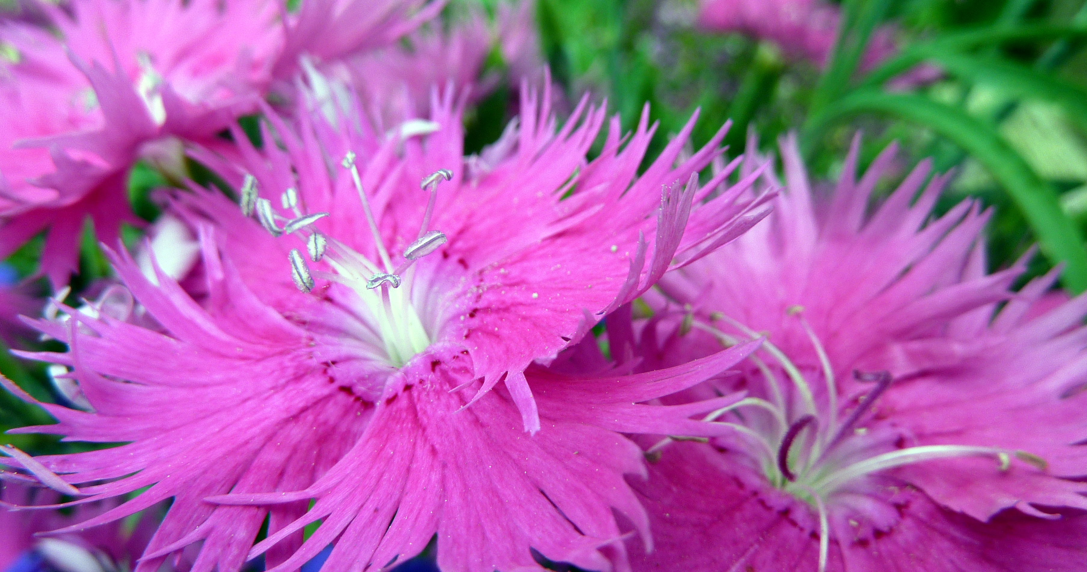 Filepink Flower With Silver Pollen 7630728824g Wikimedia Commons